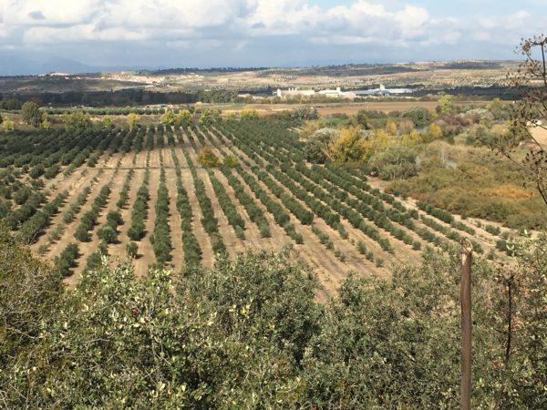 Campo-de-olivos-de-Aceites-Valderrama