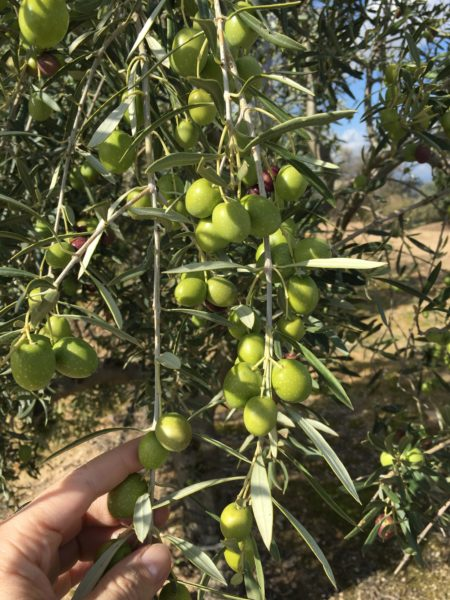 rama-de-olivo-con-aceitunas